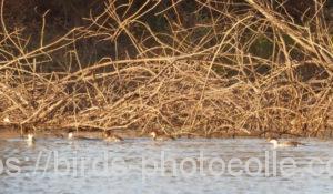 勅使池のミコアイサ201121-1