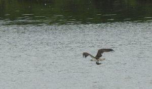 勅使池のミサゴ