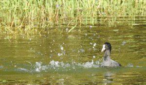 勅使池のオオバン161029-5
