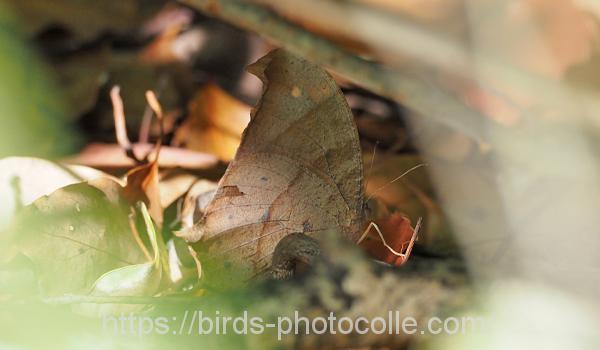 勅使池のクロコノマチョウ200507