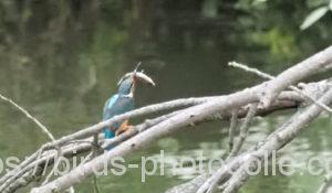 勅使池のカワセミ200628-1