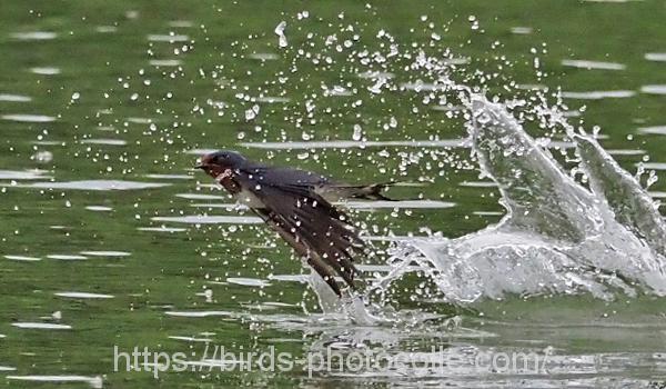 勅使池のツバメ200524
