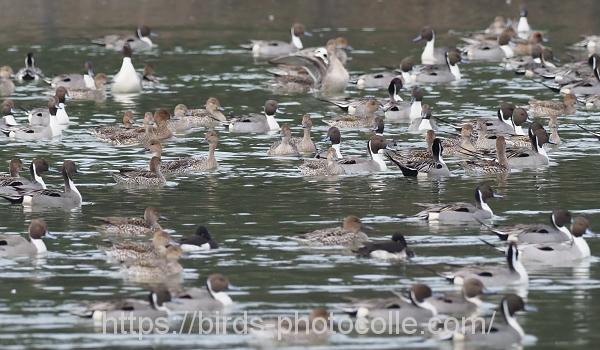 勅使池のオナガガモ200126