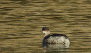 勅使池の野鳥ハジロカイツブリ161105