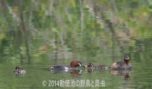 勅使池のカイツブリ170601