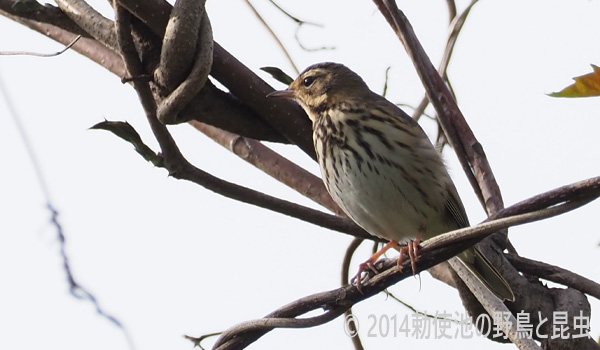 勅使池の野鳥ビンズイ170503