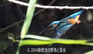 勅使池のカワセミ170921