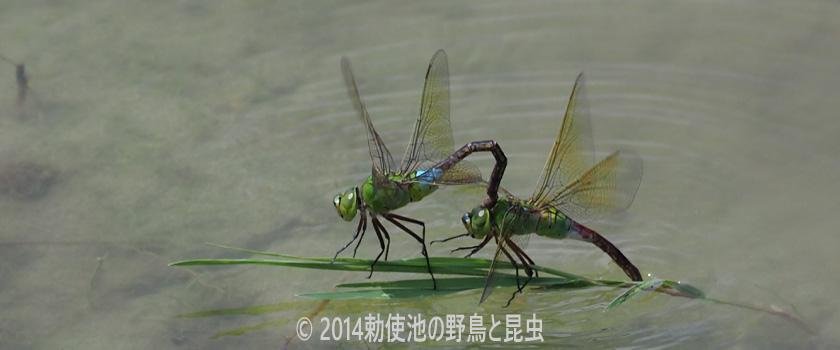 勅使池の昆虫 ギンヤンマ