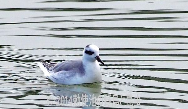 勅使池のハイイロヒレアシシギ171017-2