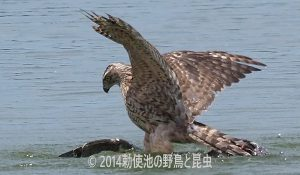 勅使池のオオタカ170708-2