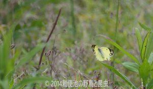 勅使池のモンキチョウ170606