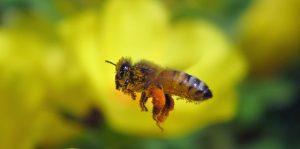 勅使公園のセイヨウミツバチ