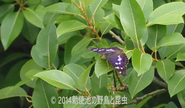勅使池のコムラサキ170531