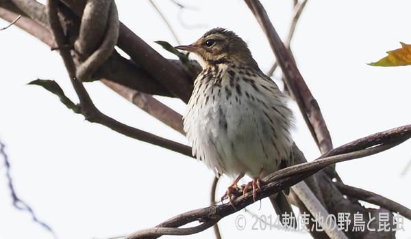 勅使池の野鳥ビンズイ170503-1
