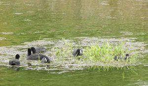 勅使池のオオバン161014