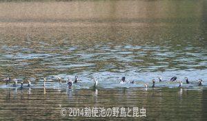 勅使池のカワウ171001