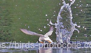 勅使池のコアジサシ180717