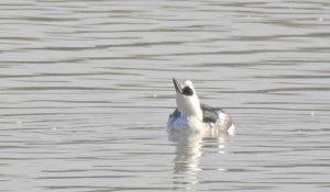 勅使池のミコアイサ161125