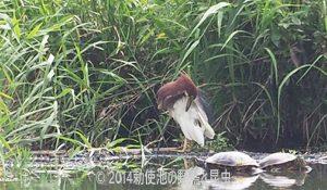 勅使池のアカガシラサギ170724-1