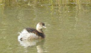 勅使池のカイツブリ161128