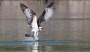 勅使池のミサゴa170122-1