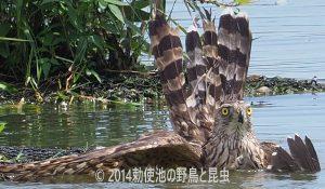 勅使池のオオタカ170706-2