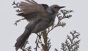 勅使池の野鳥ヒヨドリ170214