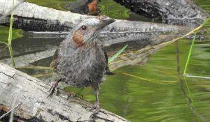 勅使池のヒヨドリ