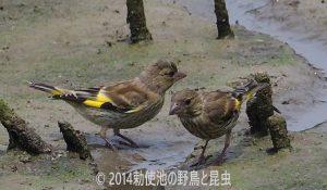 勅使池のカワラヒワ170716