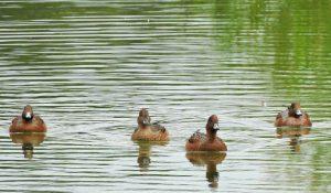 勅使池のヒドリガモ160926