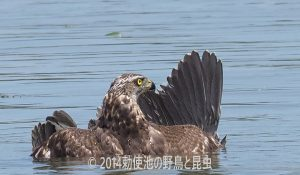 勅使池のオオタカ170706-2-1