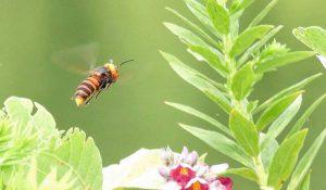 勅使池のスズメバチ