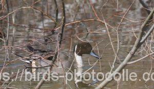 勅使池のオナガガモ190325
