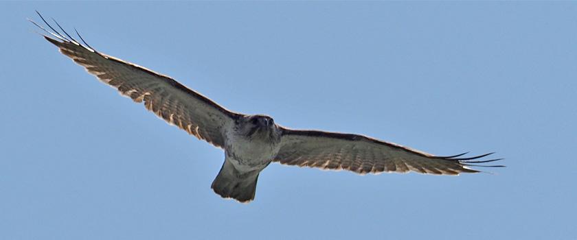 勅使池の野鳥 ノスリ-Ⅱ