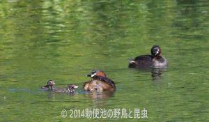 勅使池のカイツブリ170528