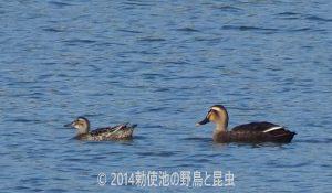 勅使池のシマアジ170913-1