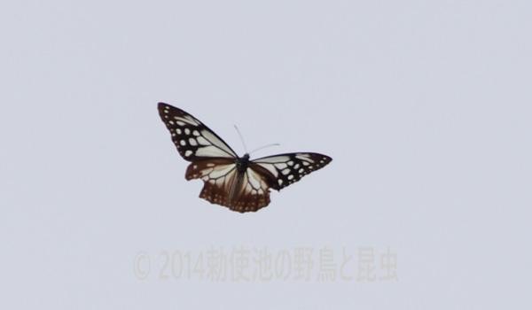 勅使池のアサキマダラ171024