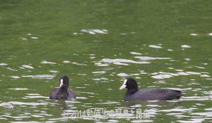 勅使池のオオバン170930