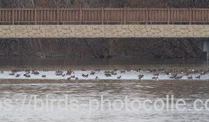 勅使池のオナガガモ181226