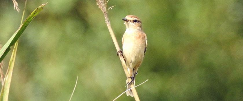 勅使池の野鳥:ノビタキ