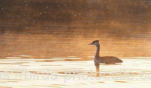 勅使池のカンムリカイツブリ181028