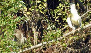 勅使池のゴイサギ160925
