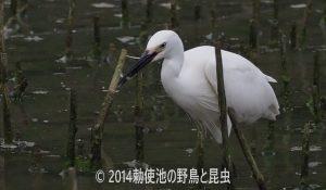 勅使池のコサギ170620-2