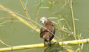 勅使池のバン幼鳥