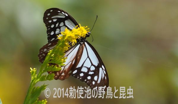 勅使池のアサキマダラ171018