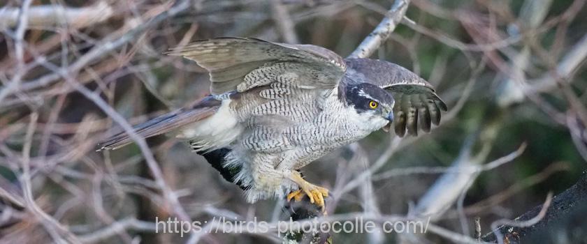 勅使池の野鳥 オオタカ